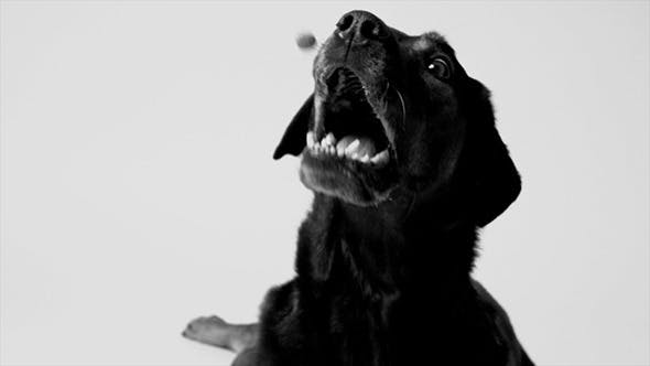 Thumbnail for Dog Catching a Treat in Slow Motion, Black & White