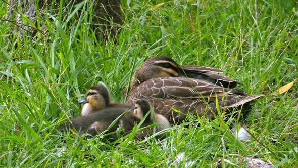 Thumbnail for Pacific Black Duck and Ducklings