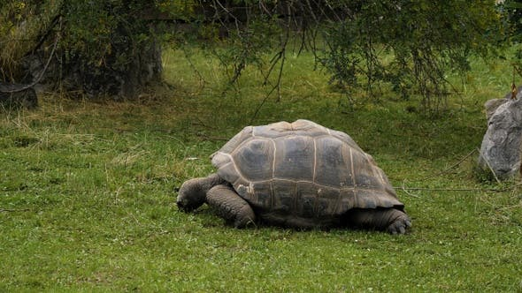 Thumbnail for Huge turtle lying on a grass.