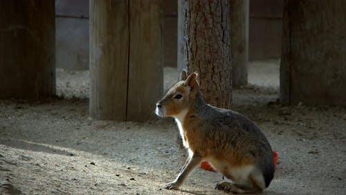 Yellow Animal Capybara  in Nature