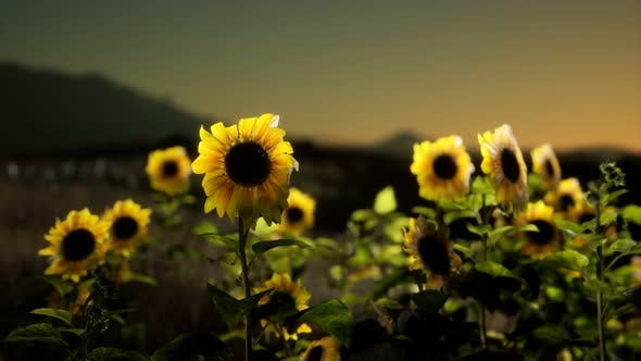 Thumbnail for Sunflower Field on a Warm Summer Evening