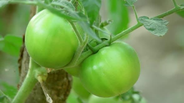 Thumbnail for Green Tomato 4