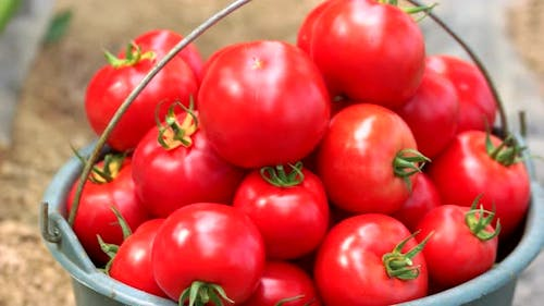 Close Up of Bucket Full of Ripe Healthy Tomatoes