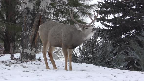 Mule Deer Buck Doe Adult Pair Smelling Lip Curlflehmen in Winter Trophy Large