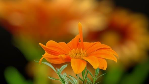 Thumbnail for Gerbera Blossom Timelapse