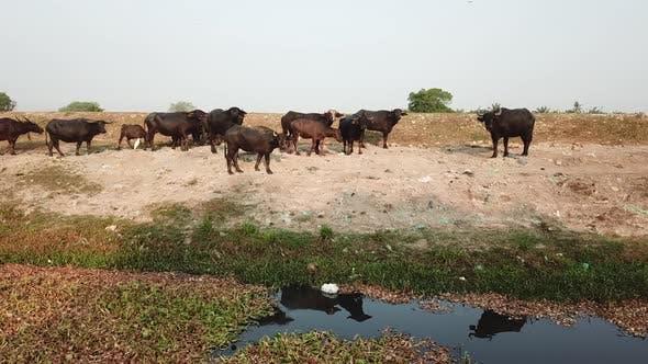 Buffaloes at the riverbank polluted