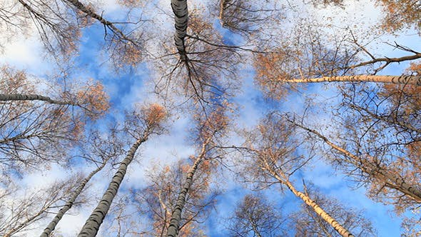 Thumbnail for Birch Trees Low Angle Real Time