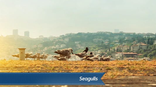 Thumbnail for Seagulls