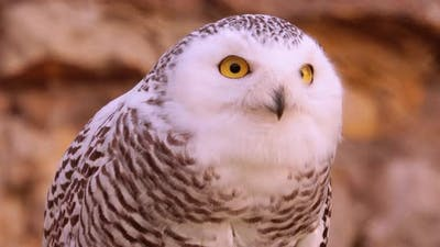 Snowy Owl Bubo Scandiacus Is a Large, White Owl of the True Owl Family