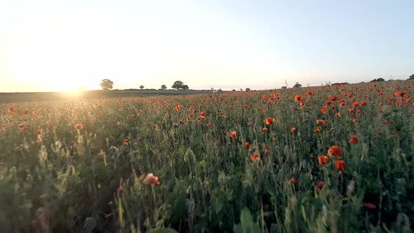 Thumbnail for Poppies in a Farm Field at Sunset