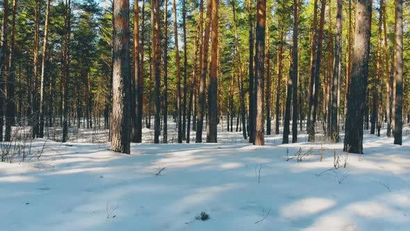 Thumbnail for Breathtaking Pine Trees Trunks in White Snow with Shadows