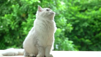 Cute Persian Cat Sitting And Looking While Sitting On Wood Table