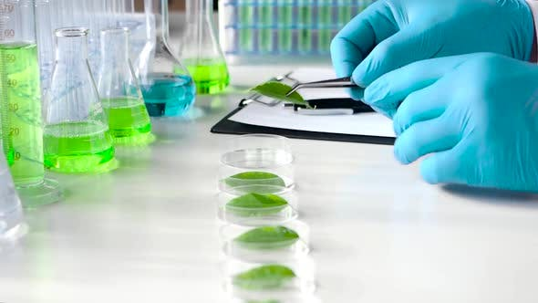 Thumbnail for A Close View of a Scientist Who Examines Leaf Samples of a Genetically Modified Plant