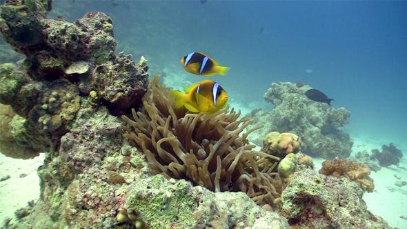 Thumbnail for Clown Anemonefish On Coral Reef 3