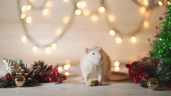 Cover Image for Symbol of 2020, the Rat Sits on the Background of a Christmas Tree Decorated.