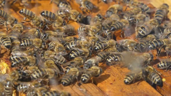 Thumbnail for Bees Walk Between Wooden Frames in a Hive