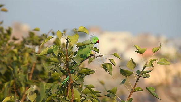 Thumbnail for Rose-Ringed Parakeet