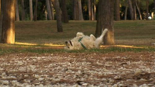Golden Retriever Romping in the Park
