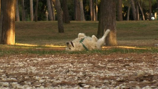 Thumbnail for Golden Retriever Romping in the Park