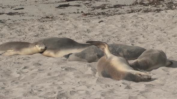 Thumbnail for Group of sea lions sleeping at the beach