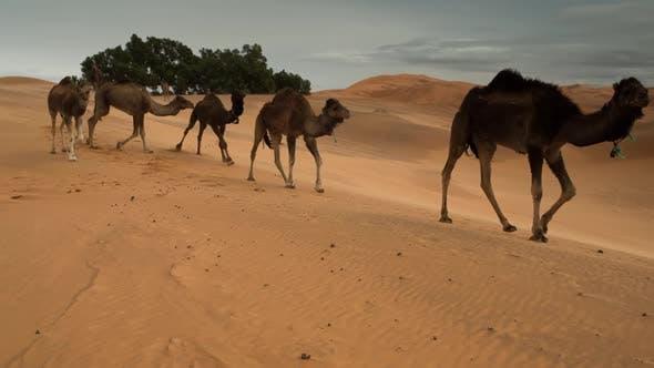 Thumbnail for Merzouga Camel 02