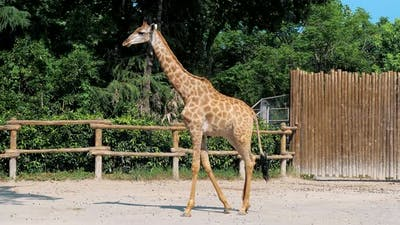Giraffe are Walking in Zoo on Sunny Summer Day