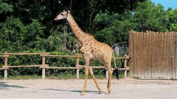 Die Giraffe wandert am sonnigen Sommertag im Zoo