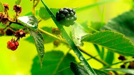Thumbnail for Blackberries 1