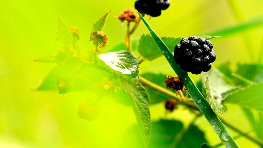 Thumbnail for Blackberries 2