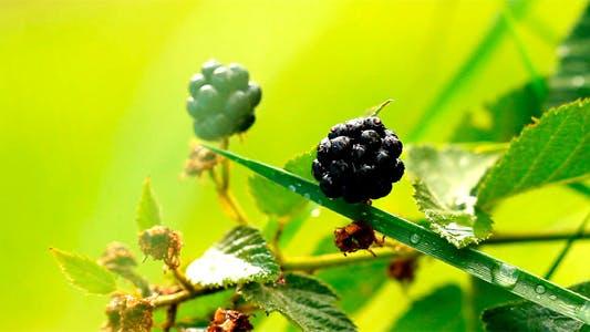 Thumbnail for Blackberries 3