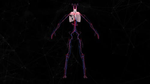 Female Cardio Vascular System V1 Hd