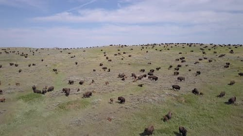 Aerial of Huge Large Plains Buffalo or Bison Herd in North America Great Plains