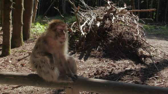 Thumbnail for Monkey Macaque In The Forest