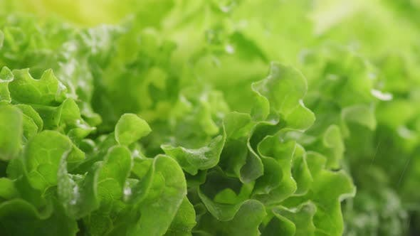 Thumbnail for Close-up shot of fresh lettuce with water