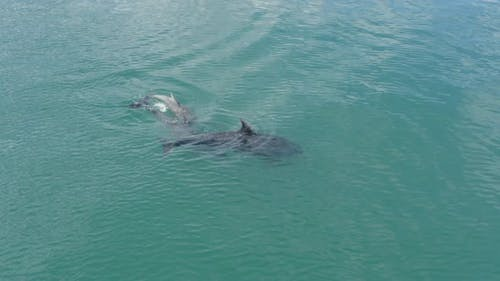 Dolphins in the Wild Swimming in the Ocean