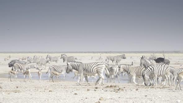Thumbnail for Zebras Walking Away From Waterhole