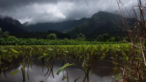 Thumbnail for Taro Field Princeville Kauai Hawaii Time Lapse