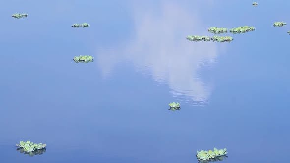 Plants Floating on Water in the Wetland.