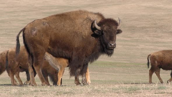Bison Cow Female Young Calf Herd Many Cows Nursing Walking in Spring