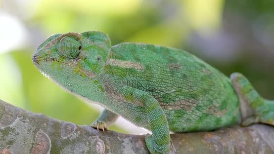 Thumbnail for Green chameleon sitting on a branch