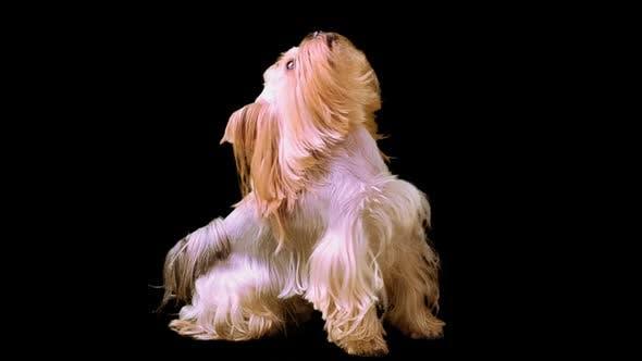 Thumbnail for Dog 6