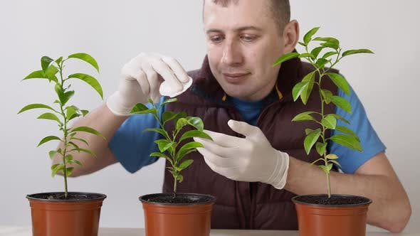 Thumbnail for Care for Home Plants. A Man Sprays the Leaves of a Mandarin Houseplant and Wipes the Leaves From
