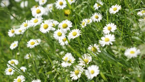 Thumbnail for Common daisies in the grass spring background 4K 2160p 30fps UltraHD  video - White Bellis perennis