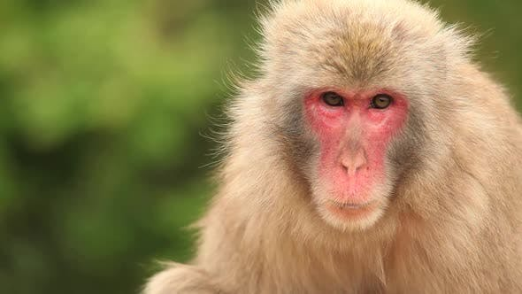 Japanese Macaque (Snow Monkey)