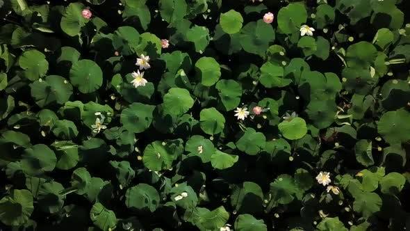 Thumbnail for Aerial Drone Stock Footage of Flowering Lotuses on the Lake Near the Road in Krasnodar Krai