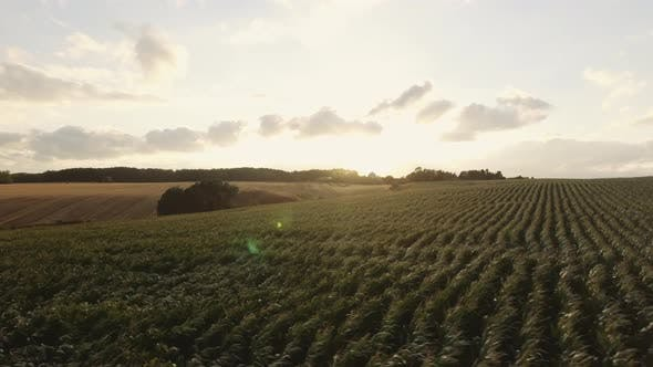 Thumbnail for Panning Shot of Fresh Crops Swaying with Wind with Sun Flare in Frame