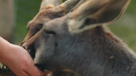 Thumbnail for Little eastern grey kangaroos eating from a person's hand, close up, BMPCC 4K