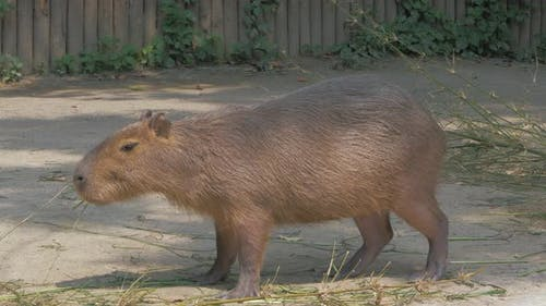 Capybara Chews Grass on Sunny Day