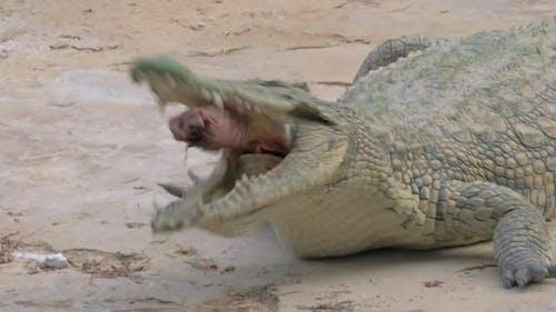 Krokodil Essen seine Beute