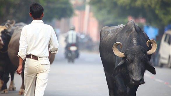 Thumbnail for Indian Buffalos